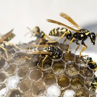 getting rid of wasps in weobley